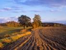 Samotne drzewa w polu