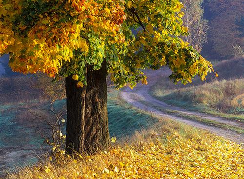 Klon w jesiennych barwach