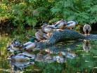 Kaczki kryżówki (Anas platyrhynchos)