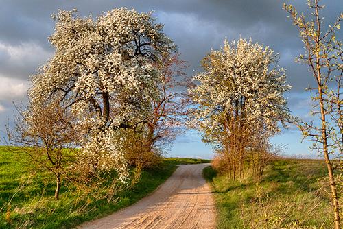 Kwitnące grusze