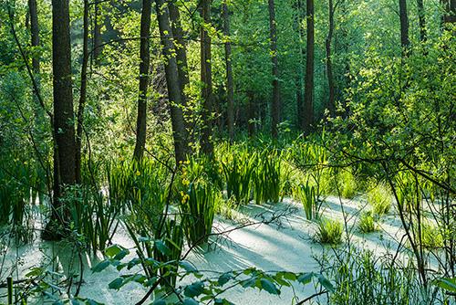Leśne bagno