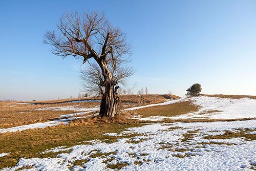 Wierzba w polu