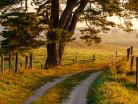 Sosna w polu