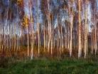 Brzozy jesienią