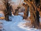 Droga z wierzbami