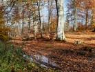 Las bukowy