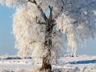 Szadź na drzewie