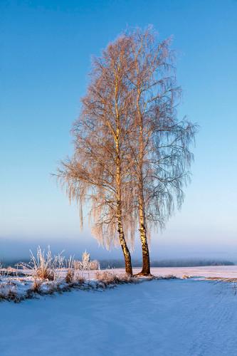 Zimowy pejzaż z brzozami