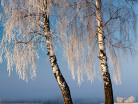 Zima z brzozami