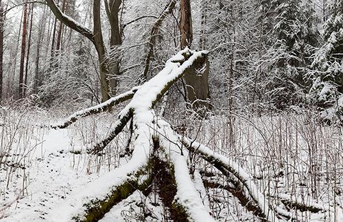 Puszcza zimą